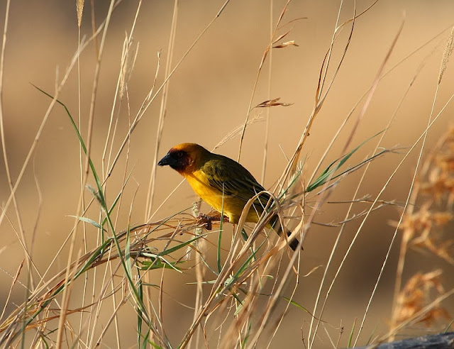 African Masked Weaver Ethiopia