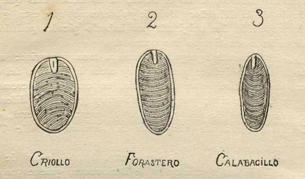 Criollo, Forastero, serta Trinitario.