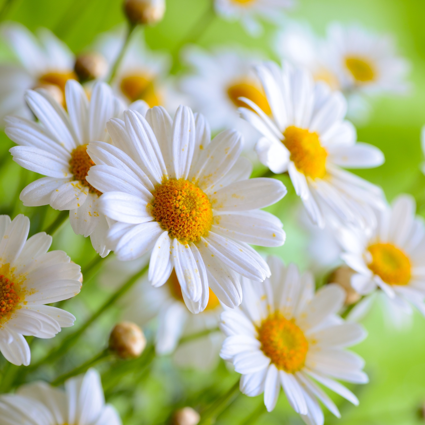 Green valley floral fun facts about the tulip and daisy flower flowers are given for many reasons the beauty and smell of a flower has been proven to improve ones mood it can be given as a sign of love or friendship izmirmasajfo Choice Image