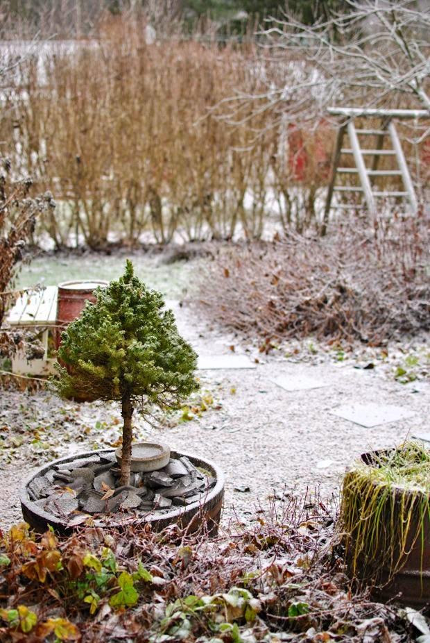 sockertoppsgran snö trädgård