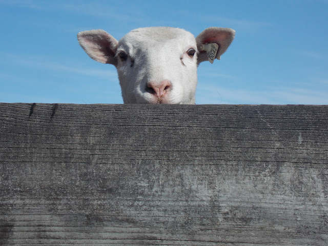 Now offering pastured lamb for the 2013 season!
