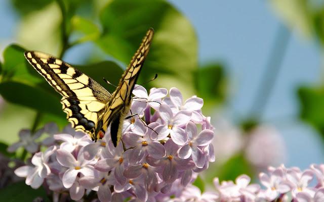Lente achtergrond met vlinder op bloem