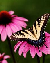Leptir na cvijetu download besplatne slike pozadine za mobitele
