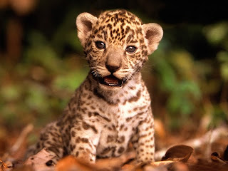 jaguar kitten