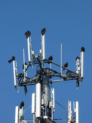 vultures on the cell tower