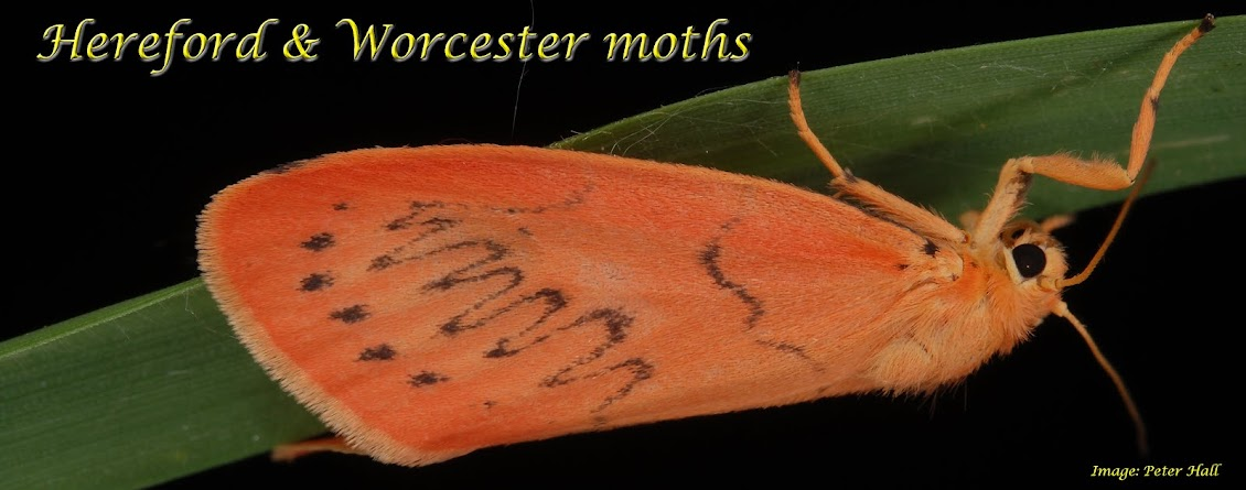 Hereford and Worcester Moths