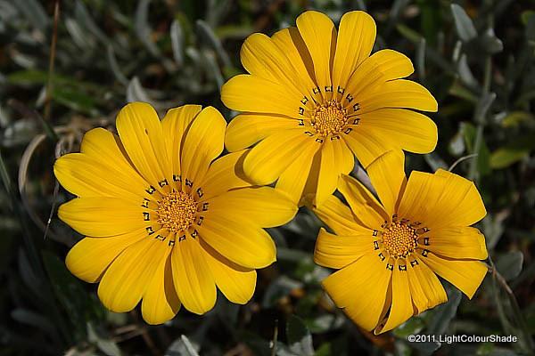 Gazania rigens, var leucolaena flowers