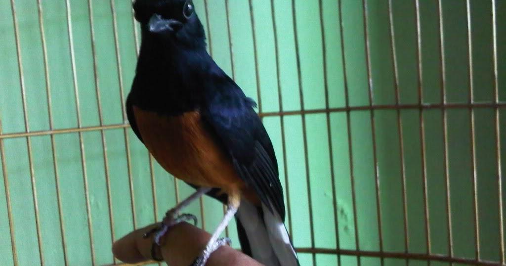 Budidaya Burung TIPS AGAR MURAI BATU CEPAT JINAK CARA