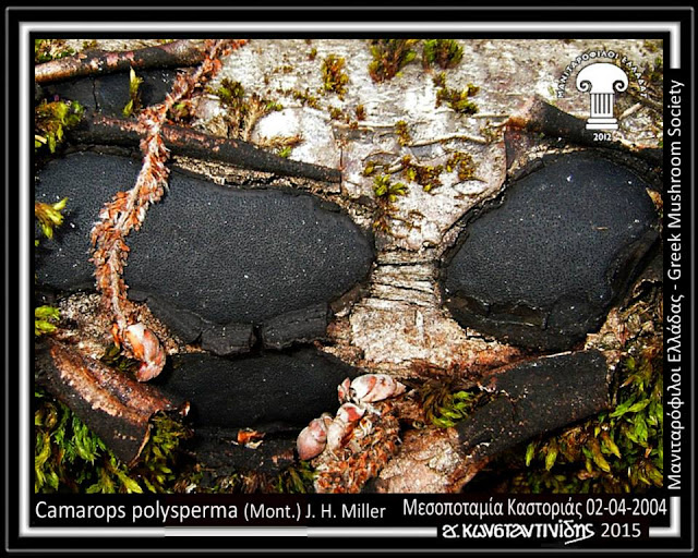 Camarops polysperma (Mont.) J. H. Miller