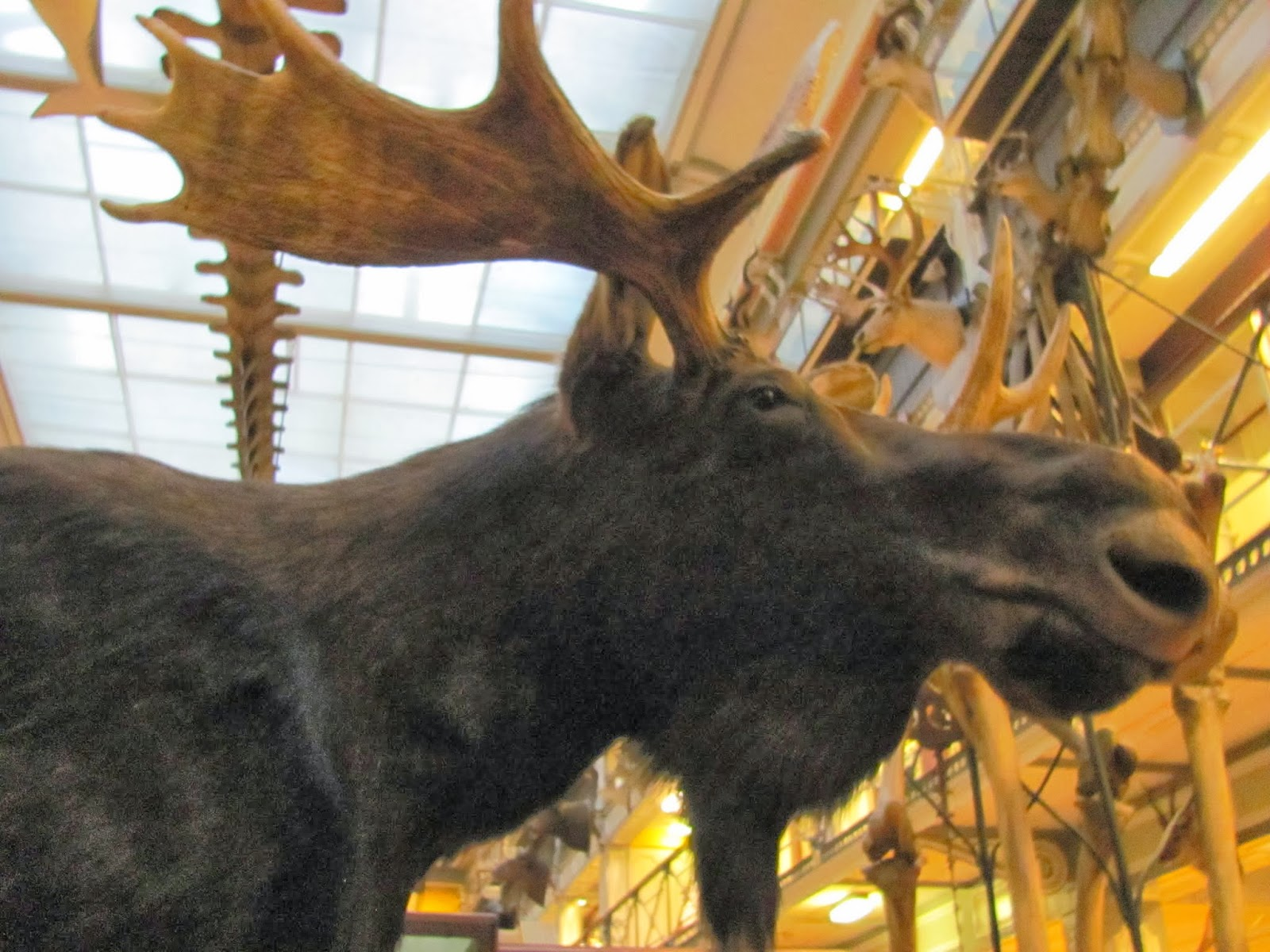 A moose on display at the National History Museum Dublin, Ireland