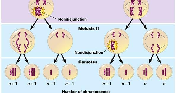 Thophick blogst variasi jumlah kromosom ccuart Choice Image