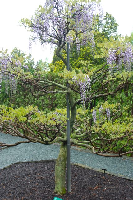 "Here you can plainly see the tree-training of this wisteria vine. They have used metal poles as the center support and guided the vine around it, pruning out the shoots into ""branches."""