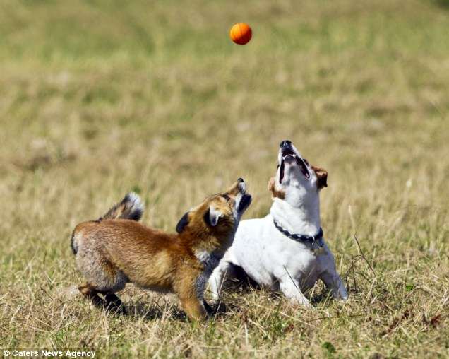 real life the fox and the hound, dog and fox are friends, interspecies ...