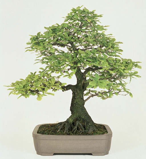Bonsai Asam