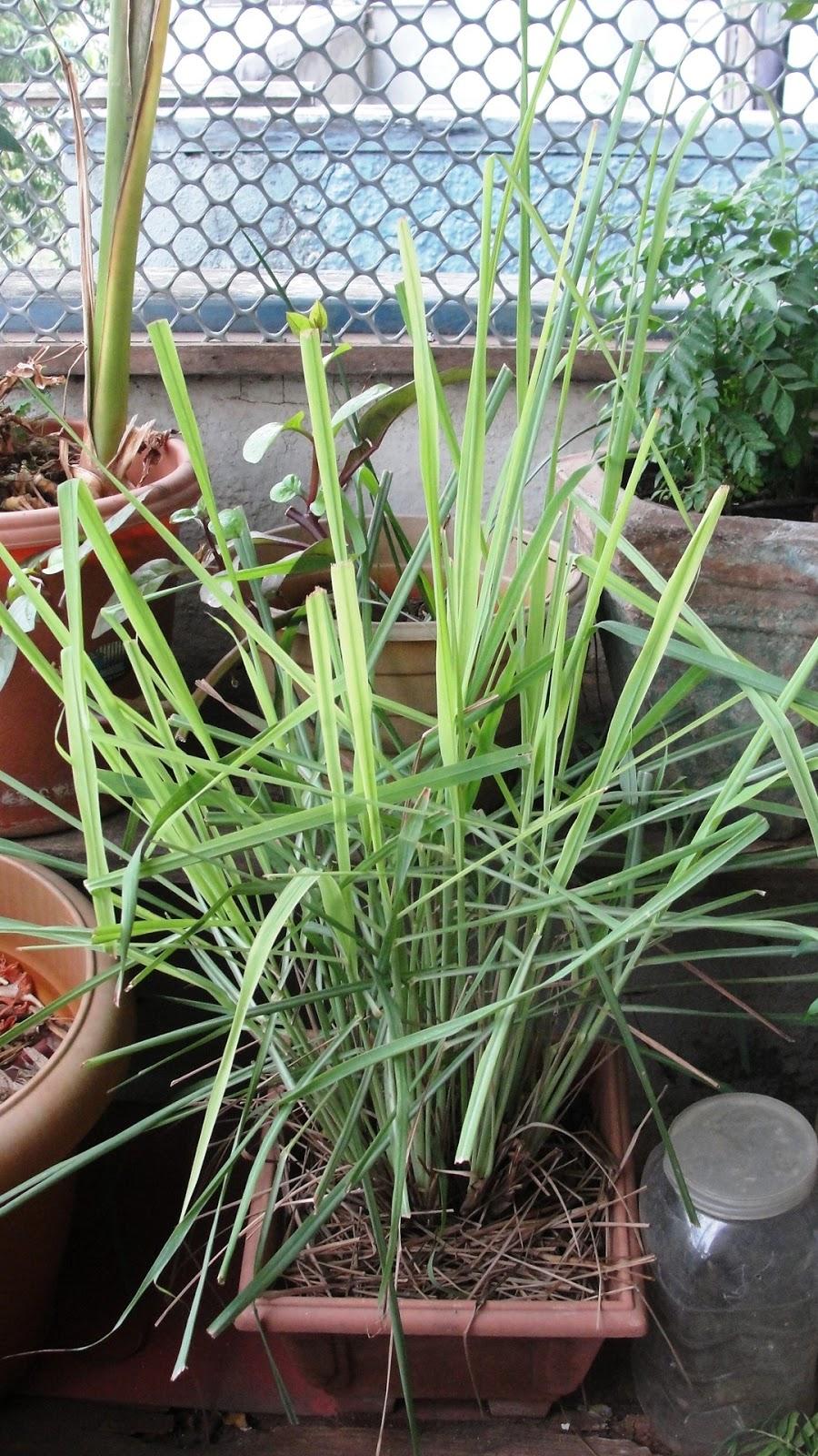how to grow grass on a balcony