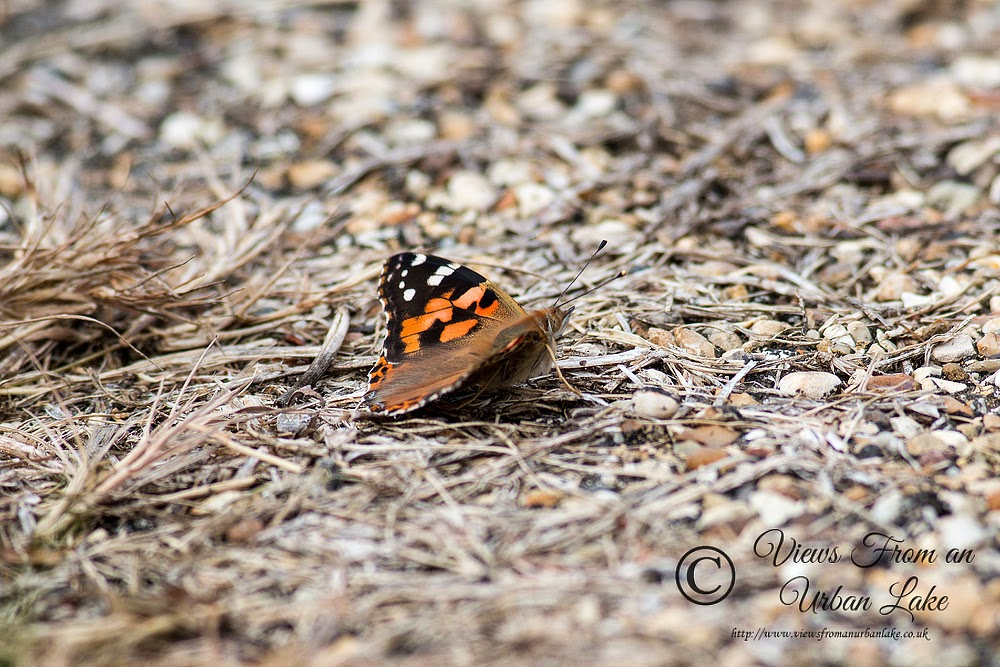 Painted Lady - Manor Farm, Wolverton, Milton Keynes