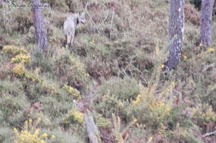 O lobo-ibérico (Canis lupus signatus)