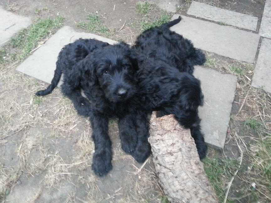 We have Giant Schnauzer Puppies