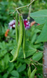 When do you pick runner beans and dwarf beans?