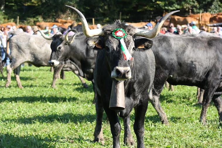 vaca de morante