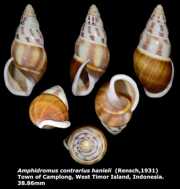Amphidromus contrarius hanieli 38.86mm