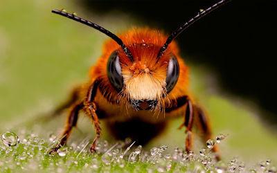 Una abeja enorme - A big bee - Insectos de mi jardín