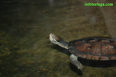 Annam leaf turtle, Vietnamese pond turtle