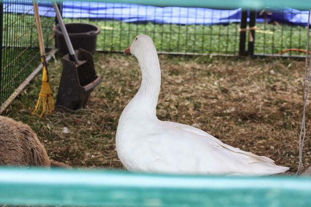 White goose at petting zoo