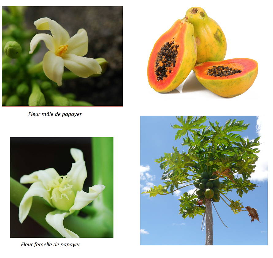 10 fruits tropicaux mang s 10 plantes tropicales faire for Plante hermaphrodite
