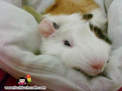 marmut lucu tidur