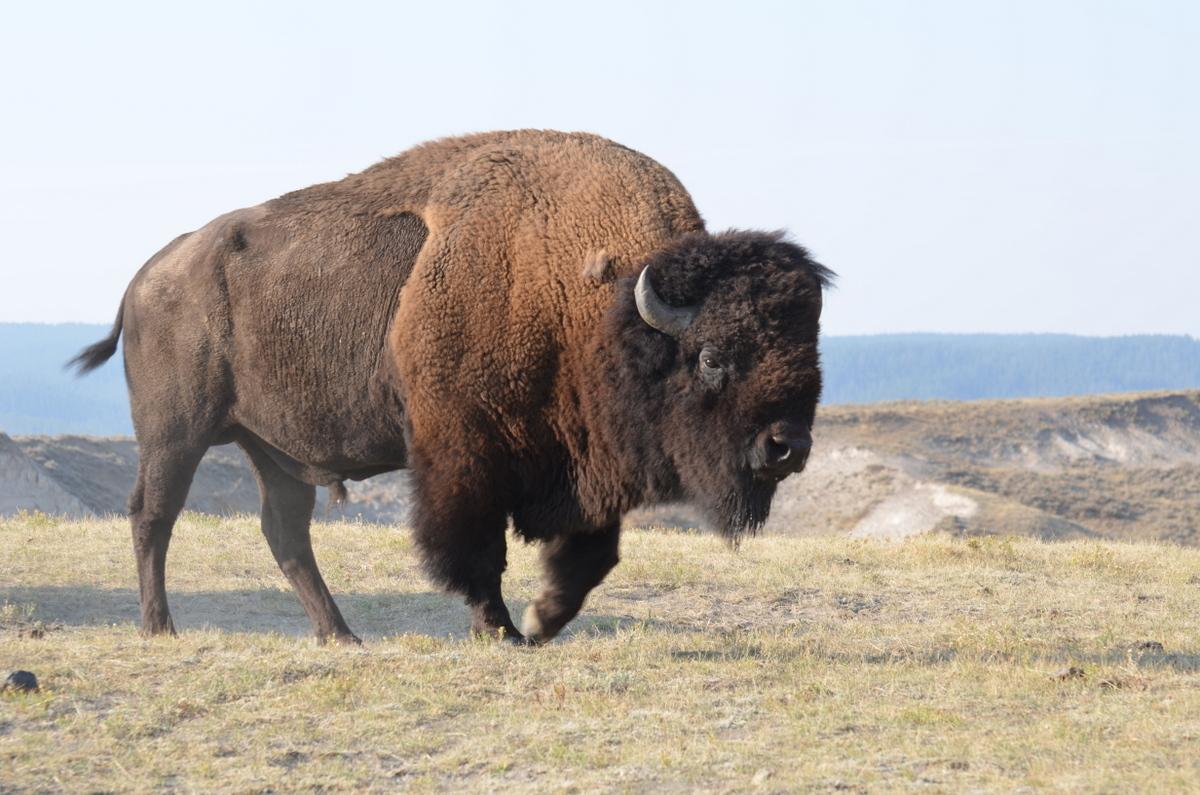 Beautiful Bison Wallpaper - Wild+Bison+HD+Wallpaper+2013-14+05  Perfect Image Reference_777091.jpg