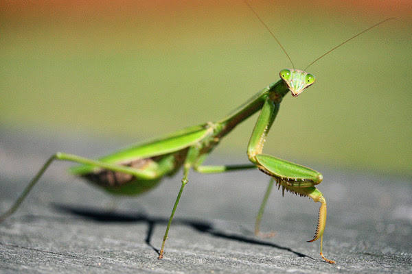 a description of the praying mantids a fascinating group of predatory insects A praying mantis, or praying mantid, is the common name for an insect of the order mantodea these insects are notorious predators and their name is sometime mistakenly spelled 'preying mantis' which is incorrect they are in fact named for the typical 'prayer-like' stance there are approximately 2,000 mantid species worldwide.