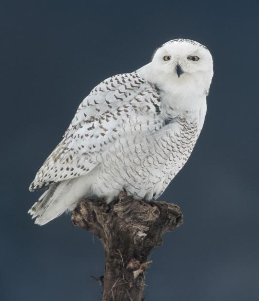 Snowy owl cramlington - f1e3