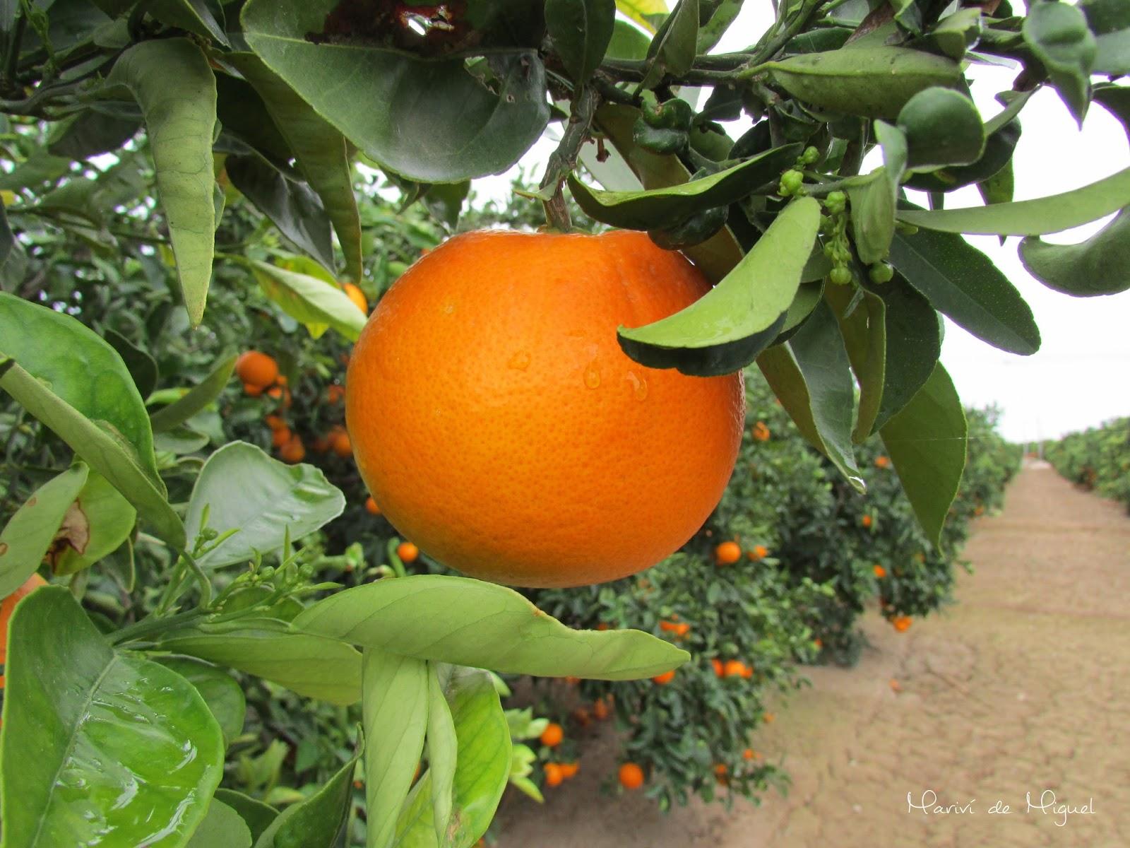 Hermosa naranja de un campo de Mahuella
