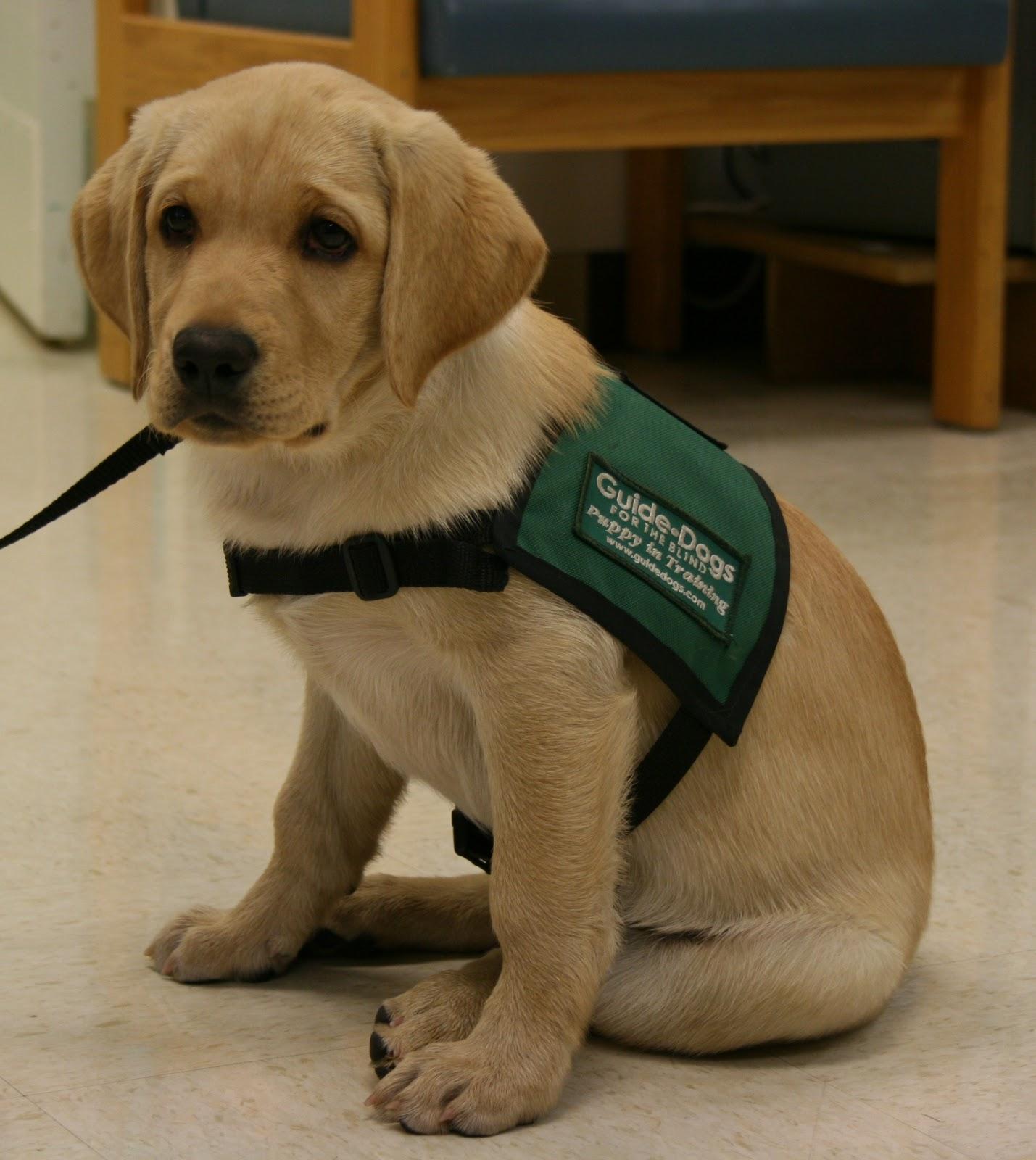 Guide dog - Wikipedia