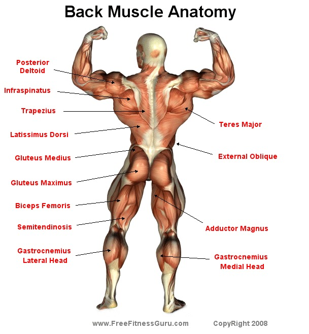 How To Loss Weight And Get In Shape Workouts Back Muscle Anatomy