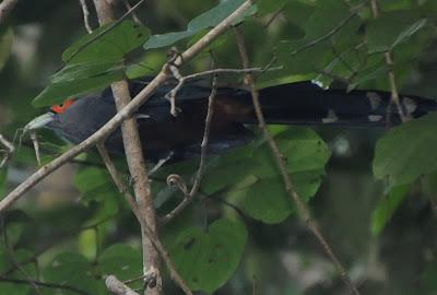Chestnut-bellied Malkoha (Rhopodytes sumatranus)