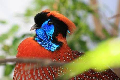 Indian bird - Temminck's tragopan - Tragopan temminckii