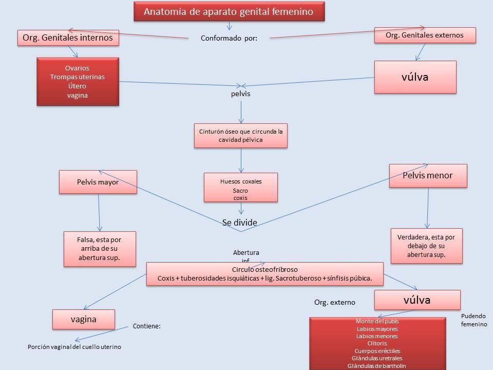 Ginecologia2016: mapa conceptual anatomía de órganos sexuales femeninos