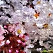 Sakura (Junli Yuii)