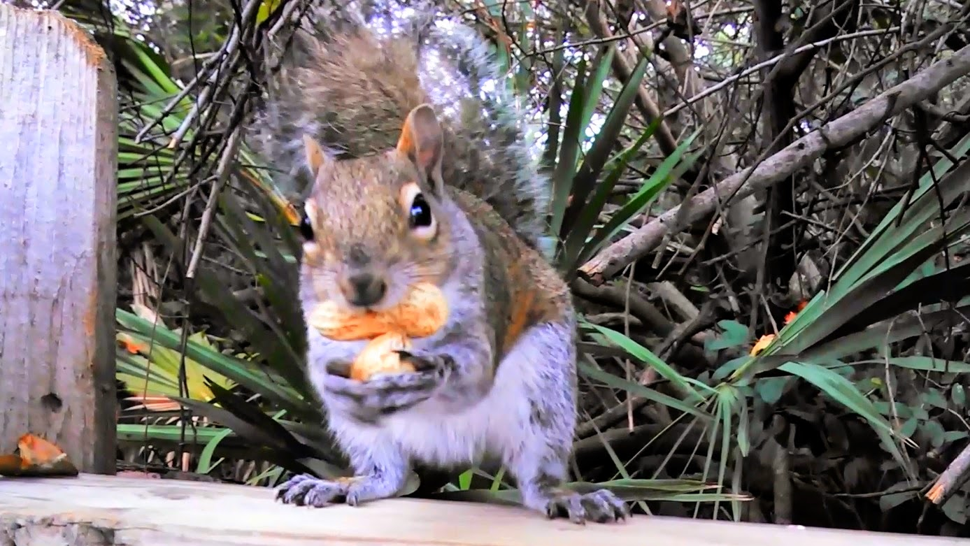 cute Squirrel juggling peanuts