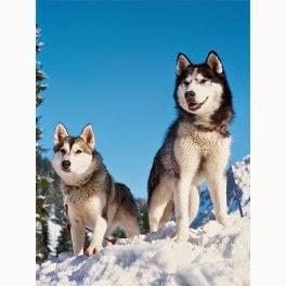 Puzzle 1500 Piezas Huskies en la Nieve