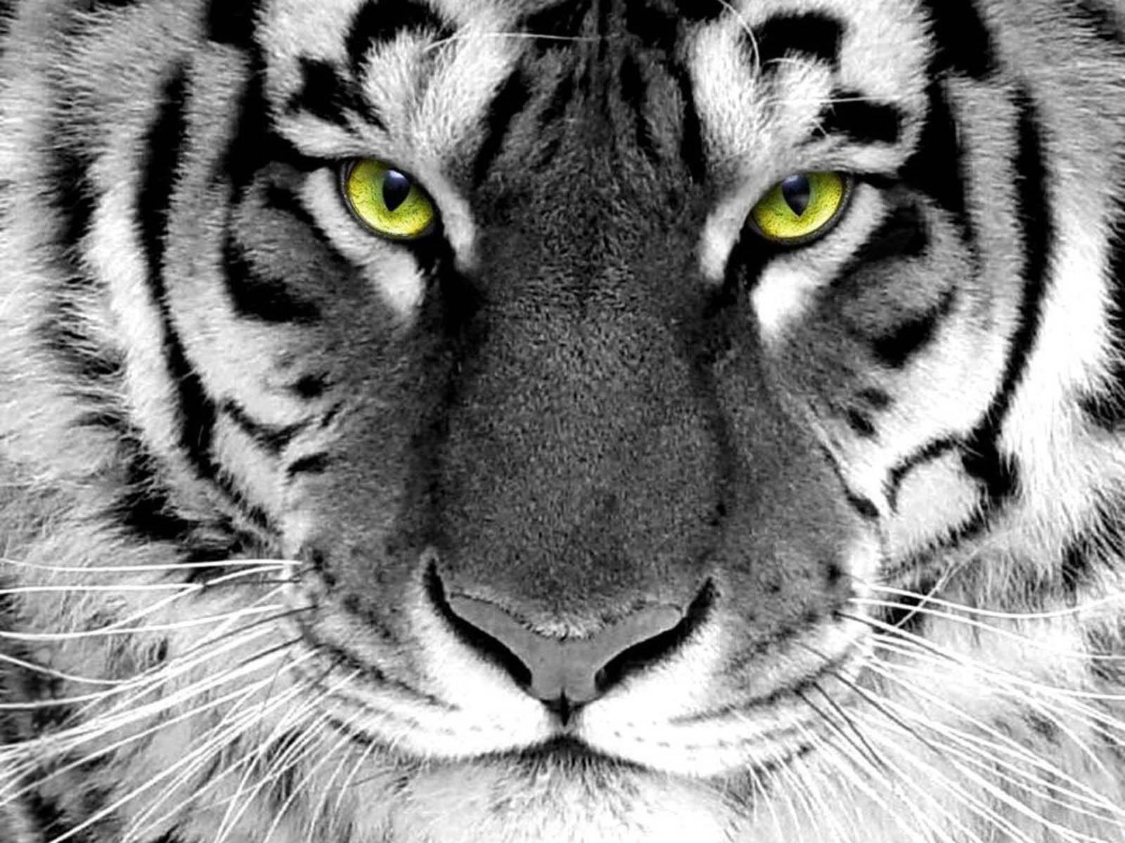 gambar kepala macan - gambar macan