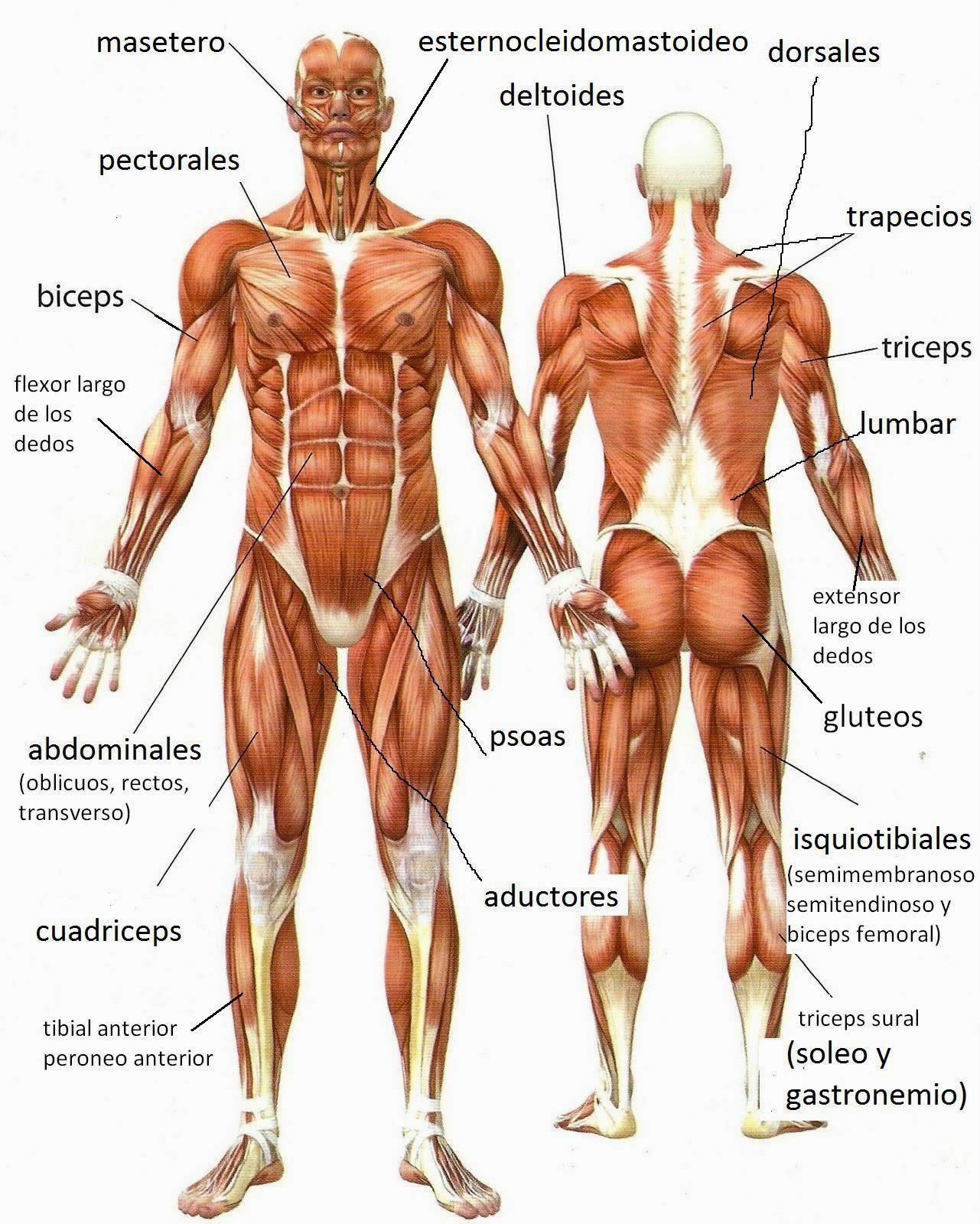 best Anatomia Del Cuerpo Humano Y Sus Partes image collection