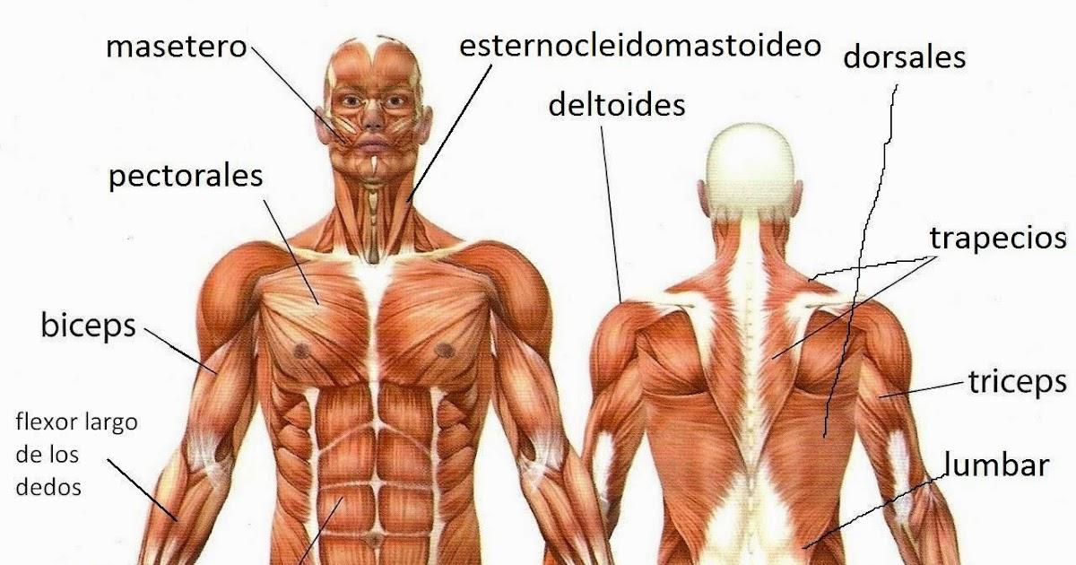 Todos los músculos del cuerpo en inglés - Vocabulario en Inglés: El ...