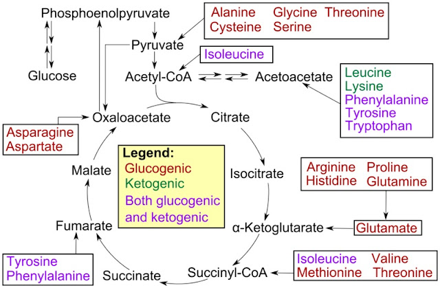 Katabolisme asam amino