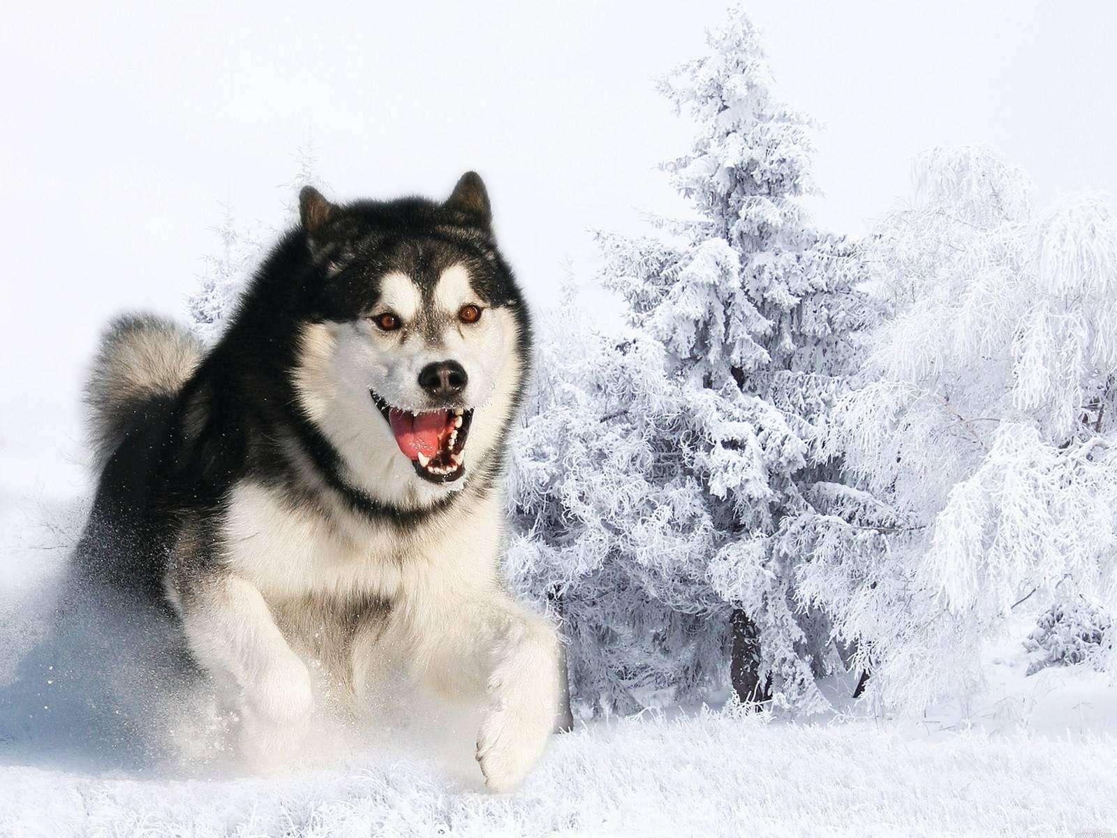 природа животное собака морда хаски  № 3886594 бесплатно