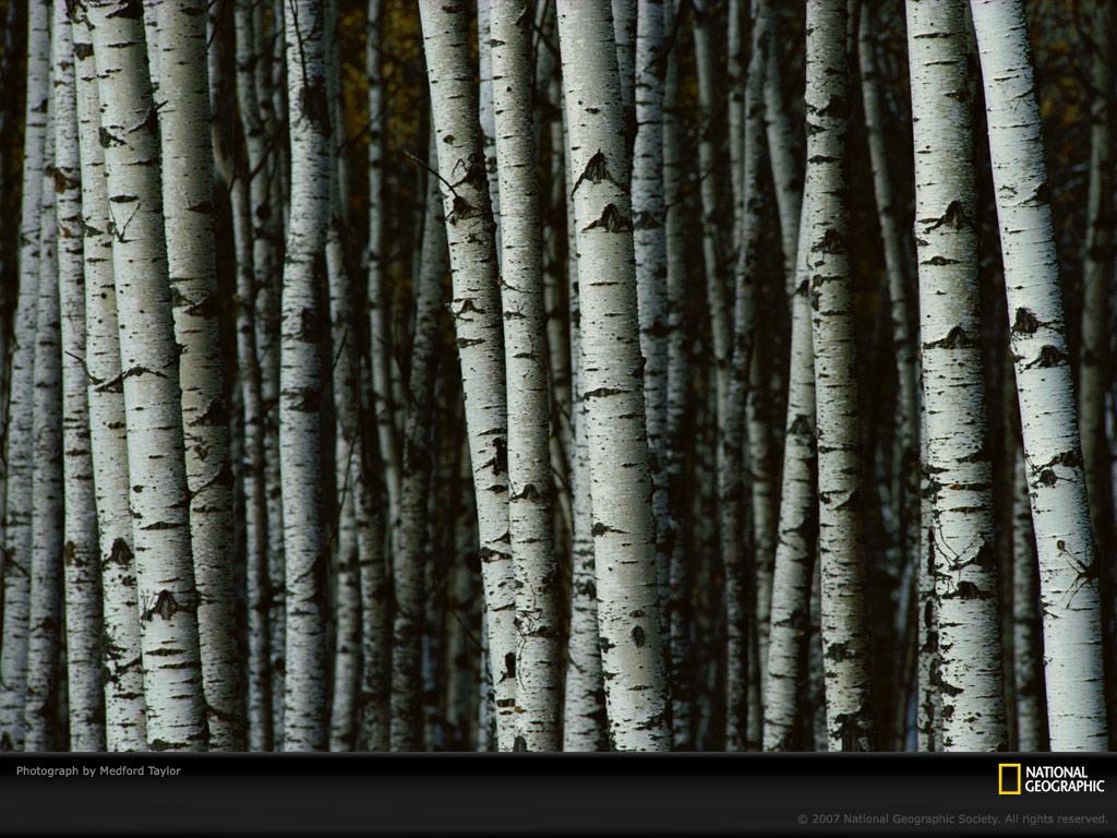 incredible birch tree wall - photo #17