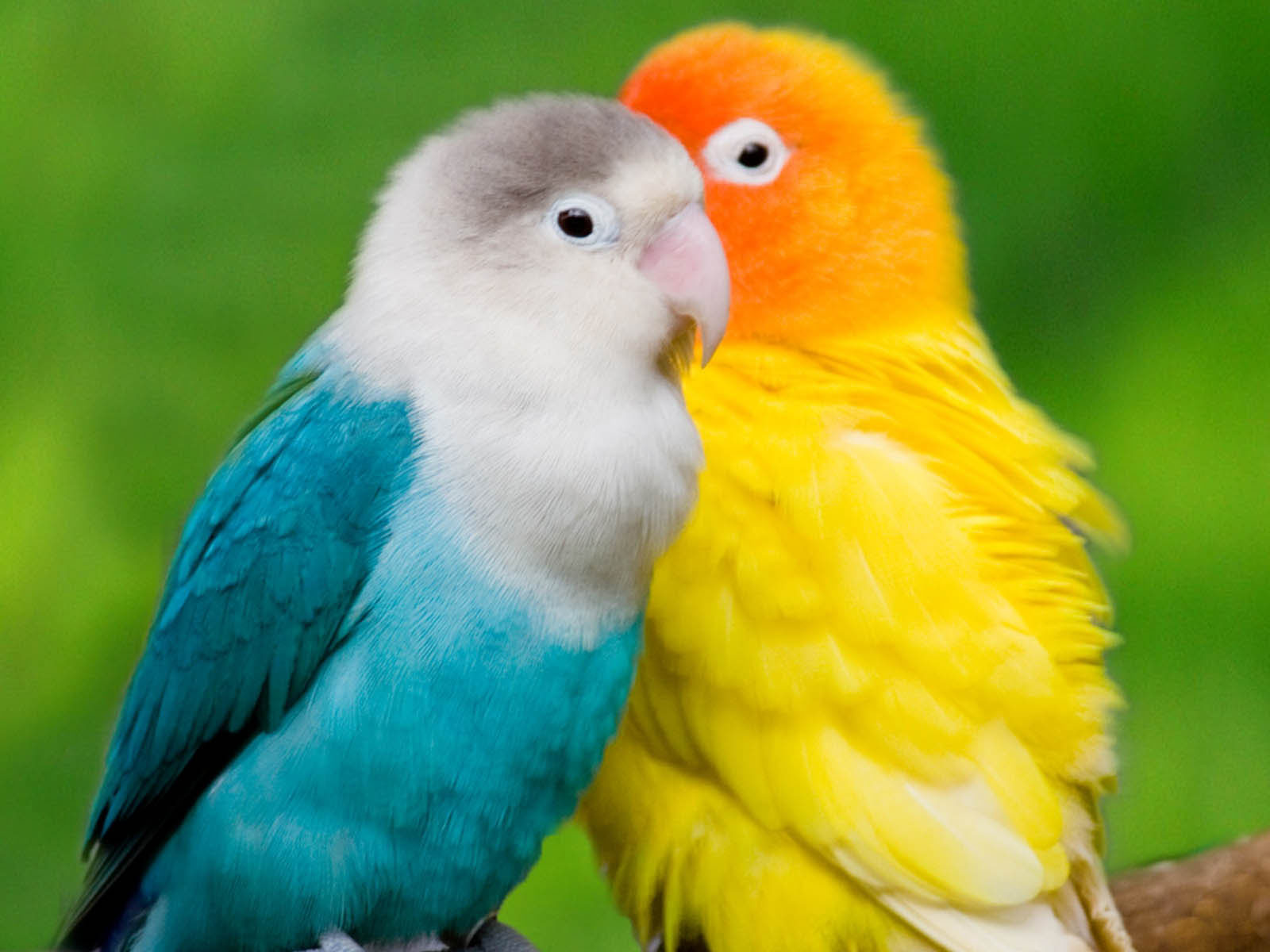 Desktop Wallpapers: Colourful Parrots Desktop Wallpapers