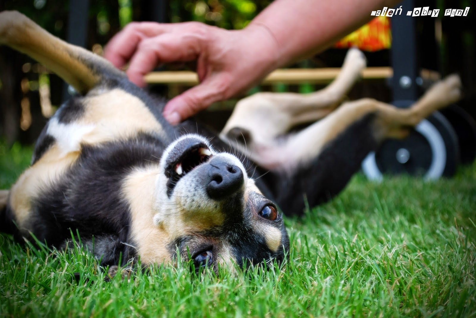 pies w rodzinie